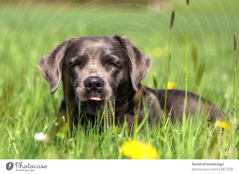 Nature Dog Summer Animal Love Meadow Style Garden Jump Park Pet Love of animals Labrador