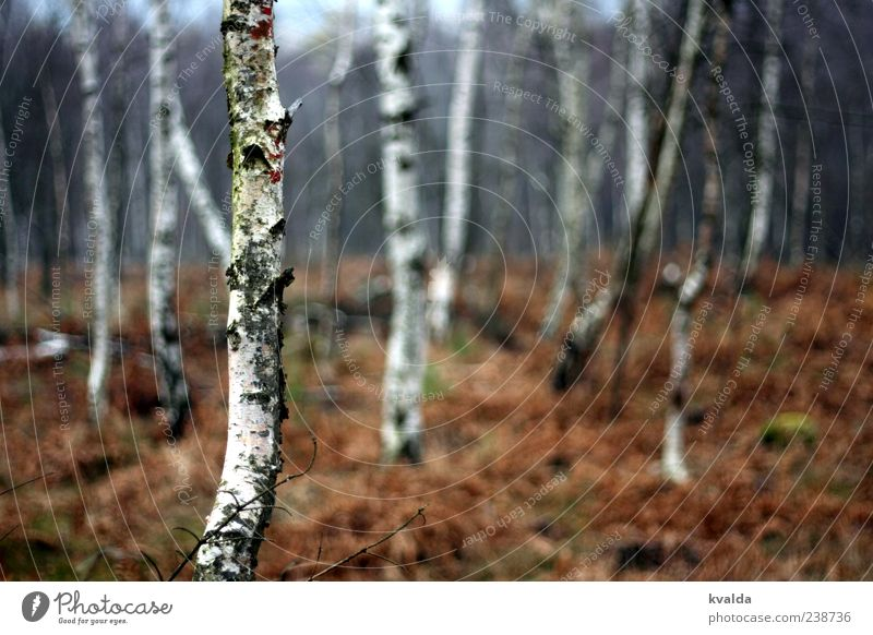 birch forest Environment Nature Landscape Plant Autumn Tree Forest Cold Brown White Birch wood Autumnal Colour photo Exterior shot Deserted Day
