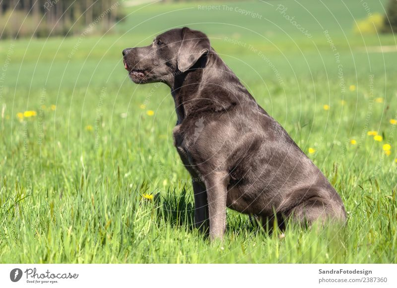 A beautiful dark Labrador Retriever plays outside Style Summer Nature Garden Park Meadow Animal Pet Dog 1 Love Jump Love of animals head happy funny retriever