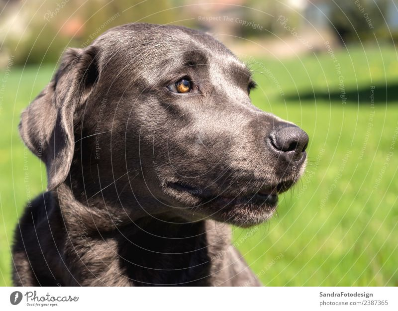 A beautiful dark Labrador Retriever plays outside Style Summer Nature Park Animal Pet Dog 1 Love Playing Romp Natural Smart Joy Happy Happiness Contentment
