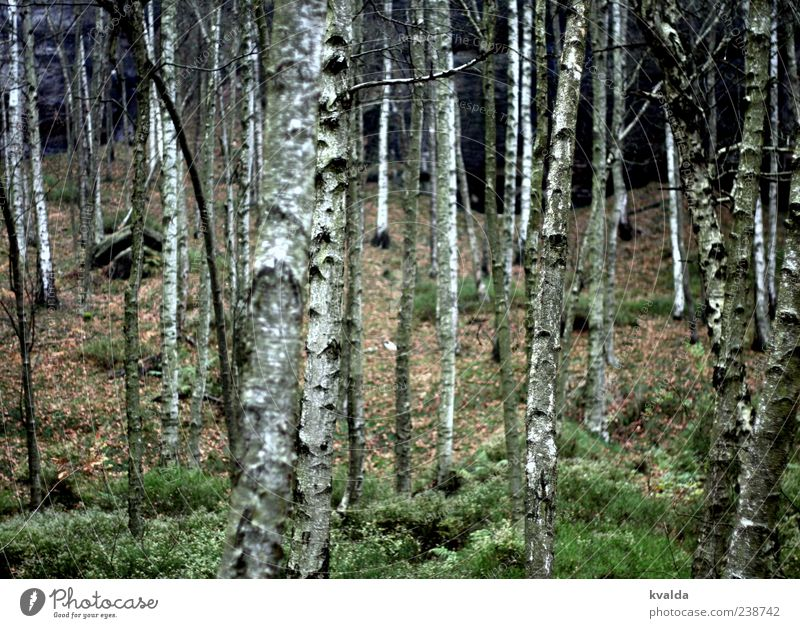 Nature White Green Tree Plant Calm Forest Landscape Autumn Tree trunk Birch tree Autumnal Environment Birch wood Birch bark
