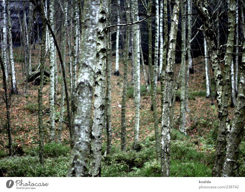 Nature White Green Tree Plant Calm Forest Landscape Autumn Tree trunk Birch tree Autumnal Environment Birch wood Birch bark
