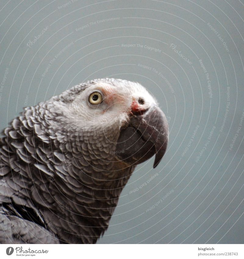 Animal Eyes Gray Bird Feather Beak Parrots
