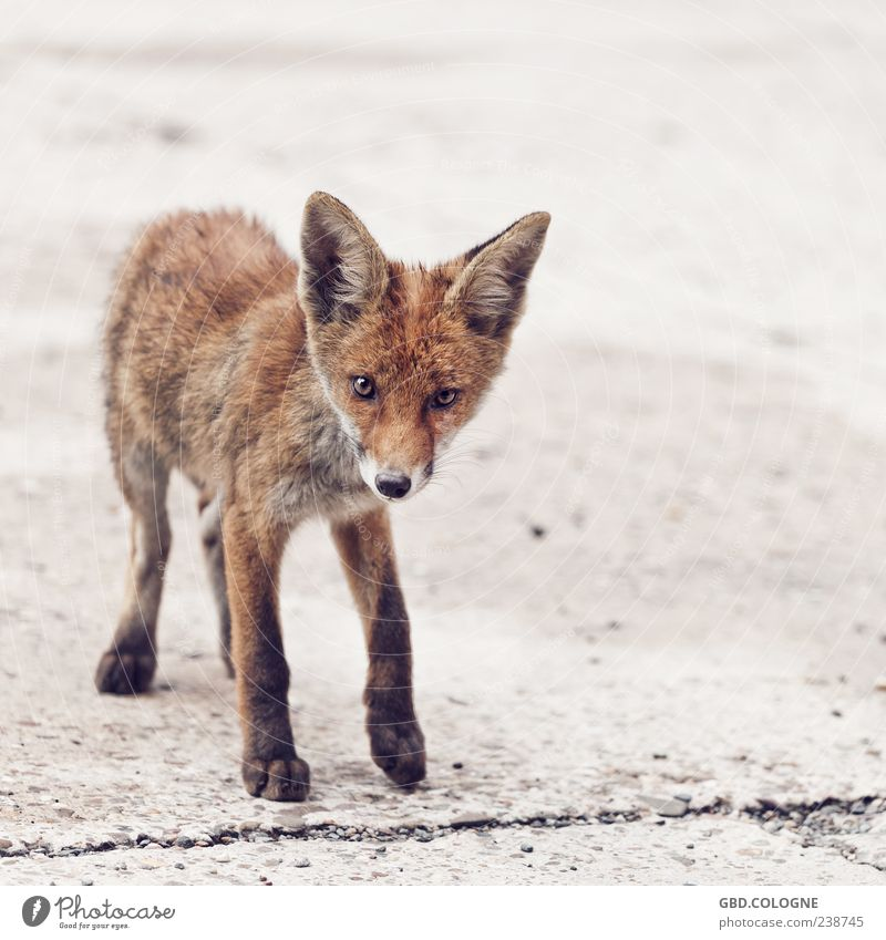 Curious look Animal Wild animal Fox 1 Baby animal Stand Brash Thin Brown Pelt Paw Ear Eyes Nose Colour photo Exterior shot Close-up Deserted Copy Space right