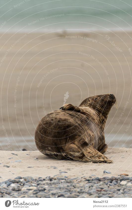 Sunbathing | Lifestyle Environment Nature Animal Sand Water Coast Beach North Sea Baltic Sea Ocean Island To enjoy Lie Sleep Helgoland Seals Wild Wild animal