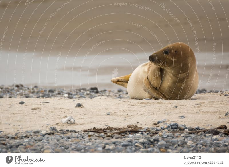Mummy play? | Curious Environment Nature Animal Sand Coast Beach North Sea Baltic Sea Ocean Island Funny Maritime Seals Wild Helgoland Wild animal