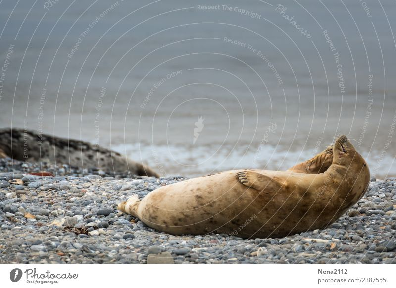 and scratch the ear... Environment Nature Animal Coast Beach North Sea Island Wild animal 1 To enjoy Lie Helgoland Seals Sports Training Athletic Calm Scratch