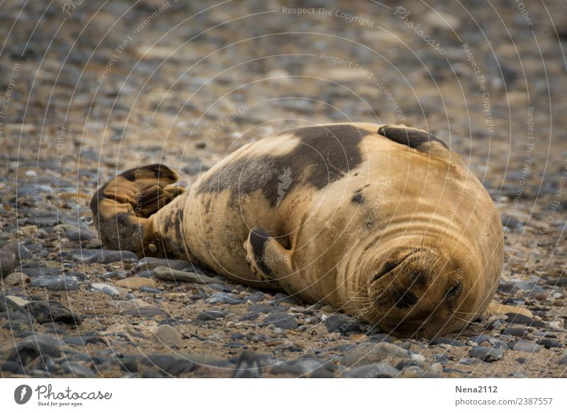 siesta Environment Nature Animal Sand Coast North Sea Island 1 Fitness To enjoy Sleep Dream Helgoland Seals Wild Gray seal Seal cub Baby animal Break Calm Happy