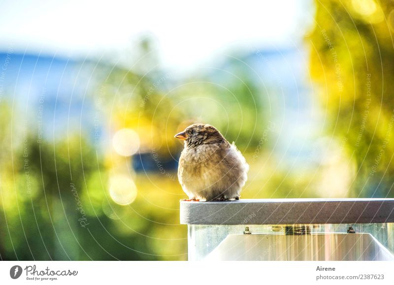crumbly view Bird Sparrow Young bird 1 Animal Lamp stand Observe Looking Sit Wait Beautiful Small Cute Blue Yellow Gold Green Joie de vivre (Vitality) Ease