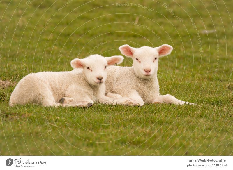 little lamb Nature Animal lambs Lamb 2 Baby animal Contentment Friendship Attachment Colour photo Exterior shot Copy Space bottom Day Central perspective