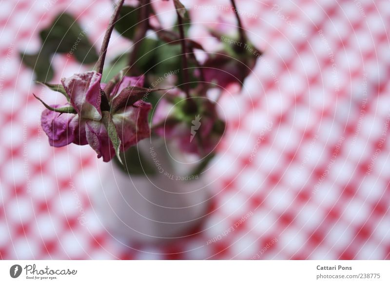 Withering to Death. Plant Flower Leaf Blossom Rose To dry up Near Thorny Vase Flower vase Bouquet Pattern Table decoration Shriveled Pink Limp Colour photo