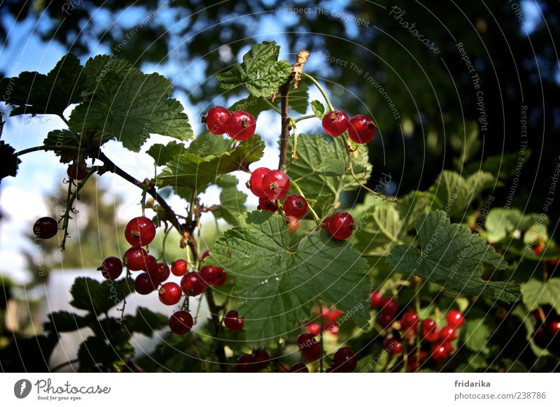berry harvest Fruit Redcurrant Nature Plant Leaf Agricultural crop Growth Esthetic Fresh Blue Green Colour photo Multicoloured Exterior shot Detail Day Shadow