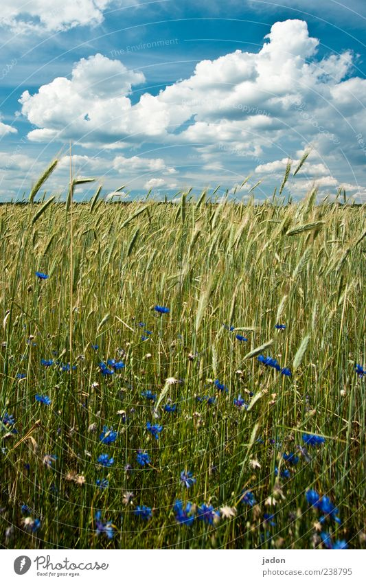Sky Nature Blue Plant Summer Clouds Yellow Landscape Food Field Gold Beautiful weather Grain Cornfield Picturesque Grain field