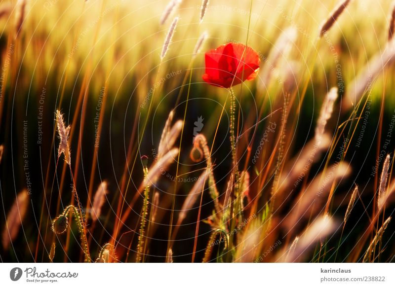 poppy in the field Nature Landscape Plant Sunrise Sunset Sunlight Summer Grass Blossom Wild plant Meadow Field Yellow Red Climate Environment Seasons