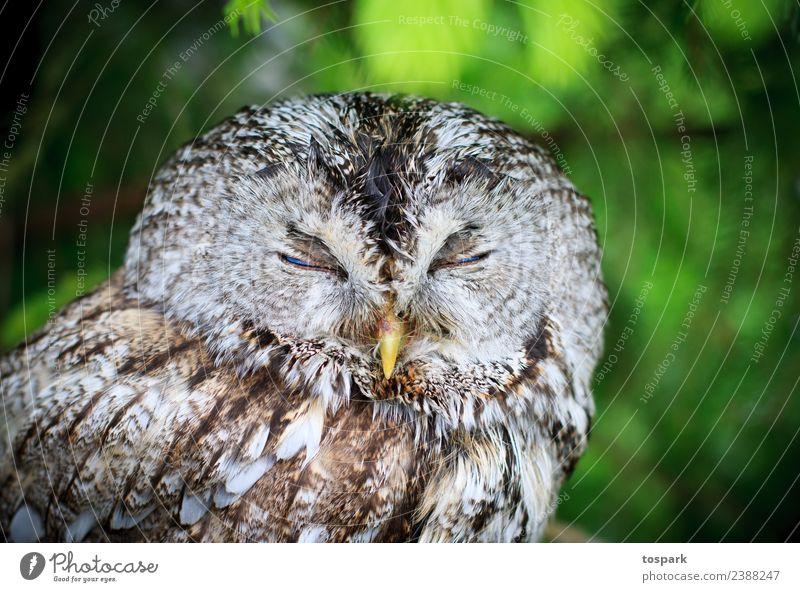Owl sleeps Environment Nature Wild animal Owl birds 1 Animal Think To enjoy Sleep Dream Esthetic Authentic Free Friendliness Healthy Happy Cuddly Near Nerdy