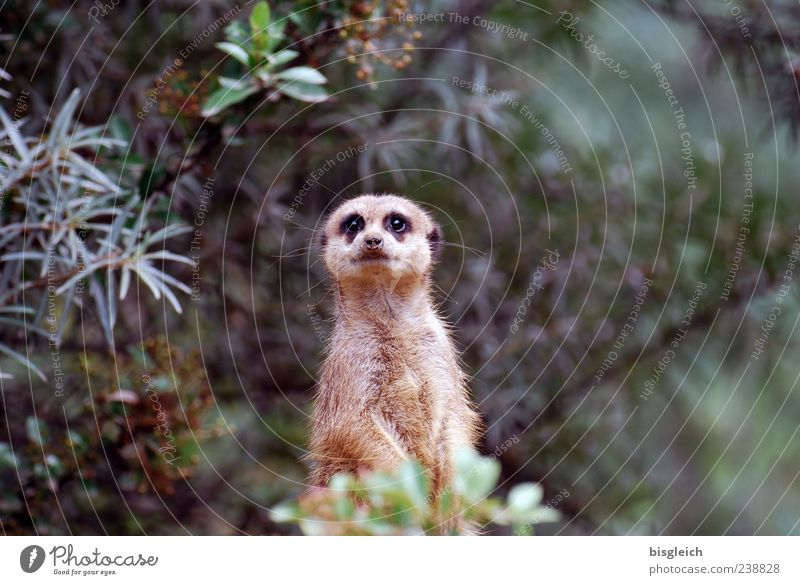 meerkats Meerkat 1 Animal Looking Brown Green Watchfulness Fear Curiosity Colour photo Exterior shot Deserted Copy Space right Shallow depth of field