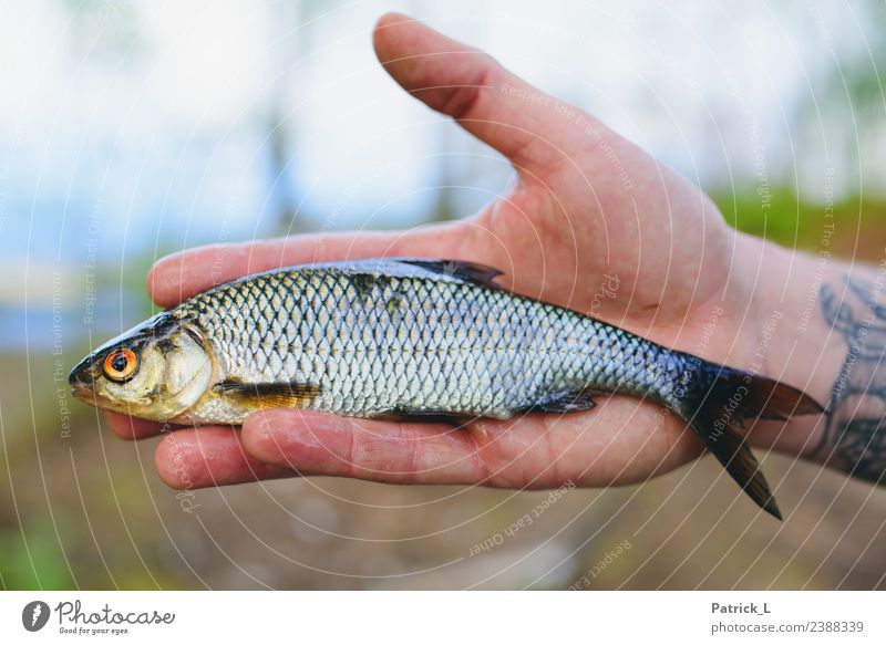 roaches Animal Fish 1 Catch Orange Red Nature Roach Scales Fin Gill Hand Isolated Image Blur