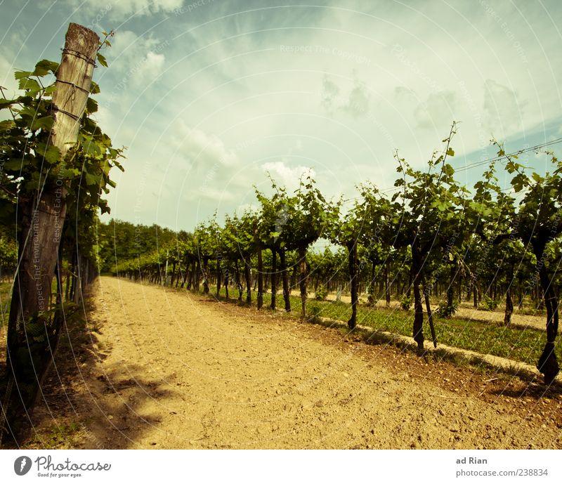 green Veltliner Nature Landscape Sky Clouds Summer Weather Vineyard Colour photo Exterior shot Day Long shot Wine growing Deserted