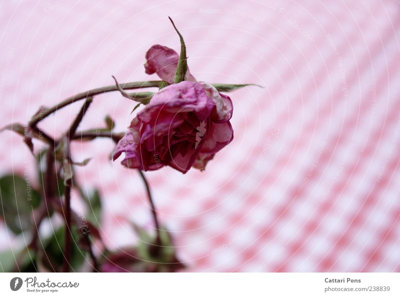 it withers and withers... Plant Flower Rose Leaf Blossom Hang Faded To dry up Near Transience Pink Pattern Dry Colour photo Exterior shot Day Blur Tablecloth