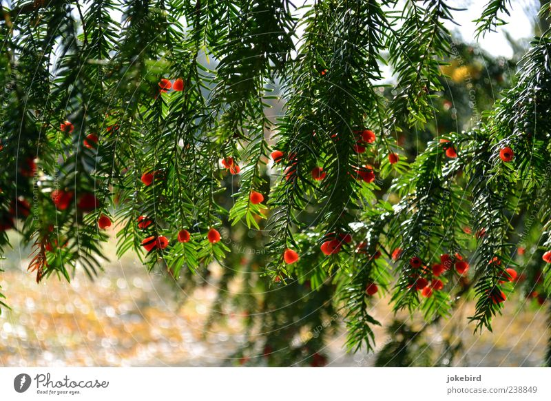 bright red Tree Coniferous trees Seed Yew Green Red Nature Colour photo Exterior shot Deserted Sunlight