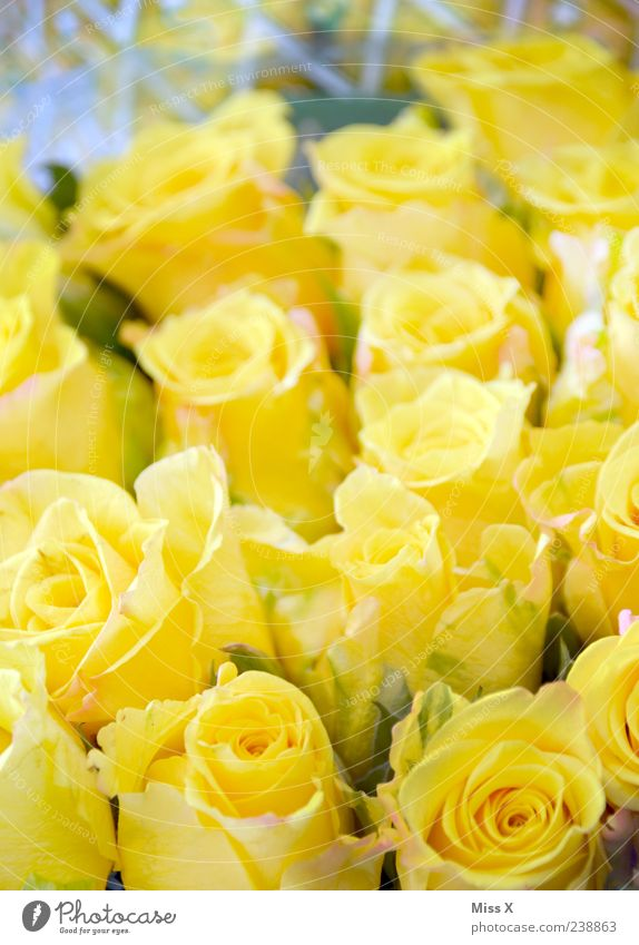 Summer Flower Yellow Spring Blossom Rose Blossoming Bouquet