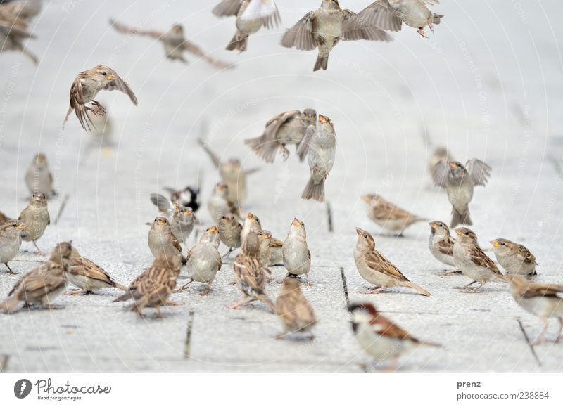 air show Environment Nature Animal Bird Flock Brown Gray Sparrow Flying Floating Judder Looking Many Footpath Paving tiles Colour photo Exterior shot Deserted