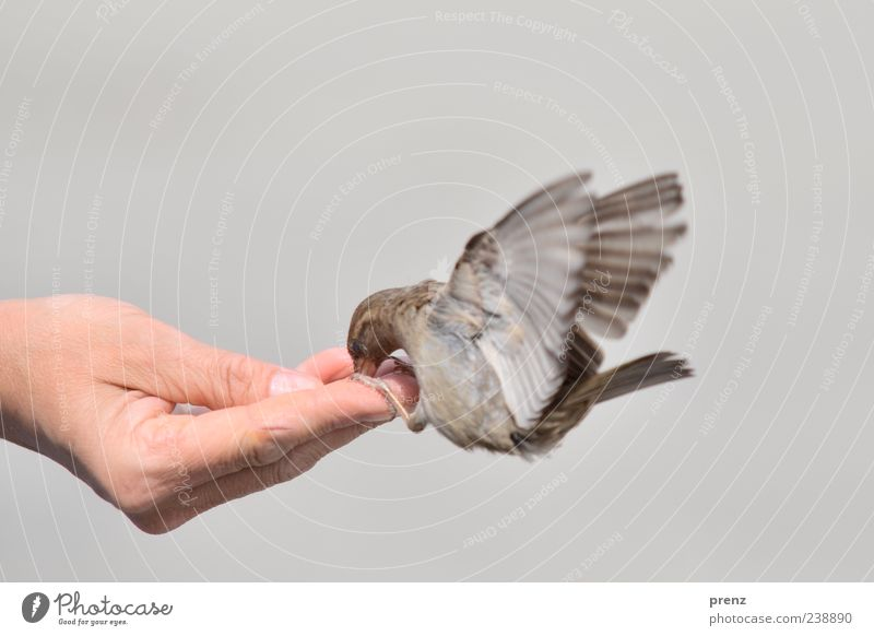give and take Hand Fingers 1 Human being Environment Animal Bird Flying To feed Brown Gray Sparrow Judder Floating Feeding Thumb Wing Colour photo Exterior shot