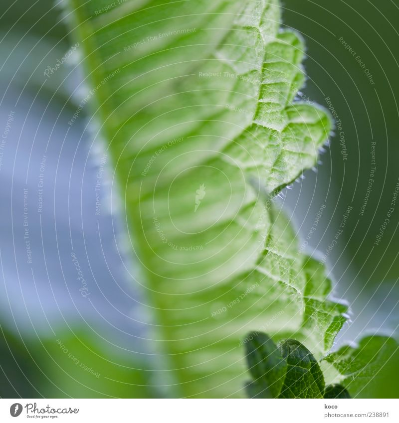 A leaf is a leaf is a leaf Nature Plant Spring Summer Leaf Foliage plant Growth Esthetic Fresh Point Thorny Blue Green White Colour photo Multicoloured
