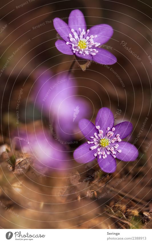 Colourful liverflowers Nature Plant Animal Spring Leaf Blossom Wild plant Forest Blossoming Fragrance Discover Beautiful Small Violet Green Colour photo