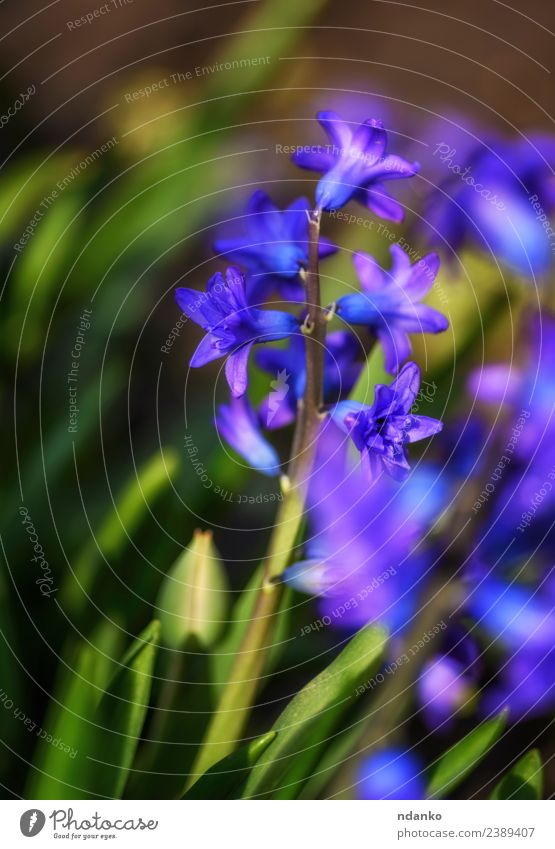 blooming blue hyacinth Nature Plant Spring Flower Blossom Blossoming Fresh Natural Blue Green Colour background Floral Beauty Photography Seasons Blossom leave