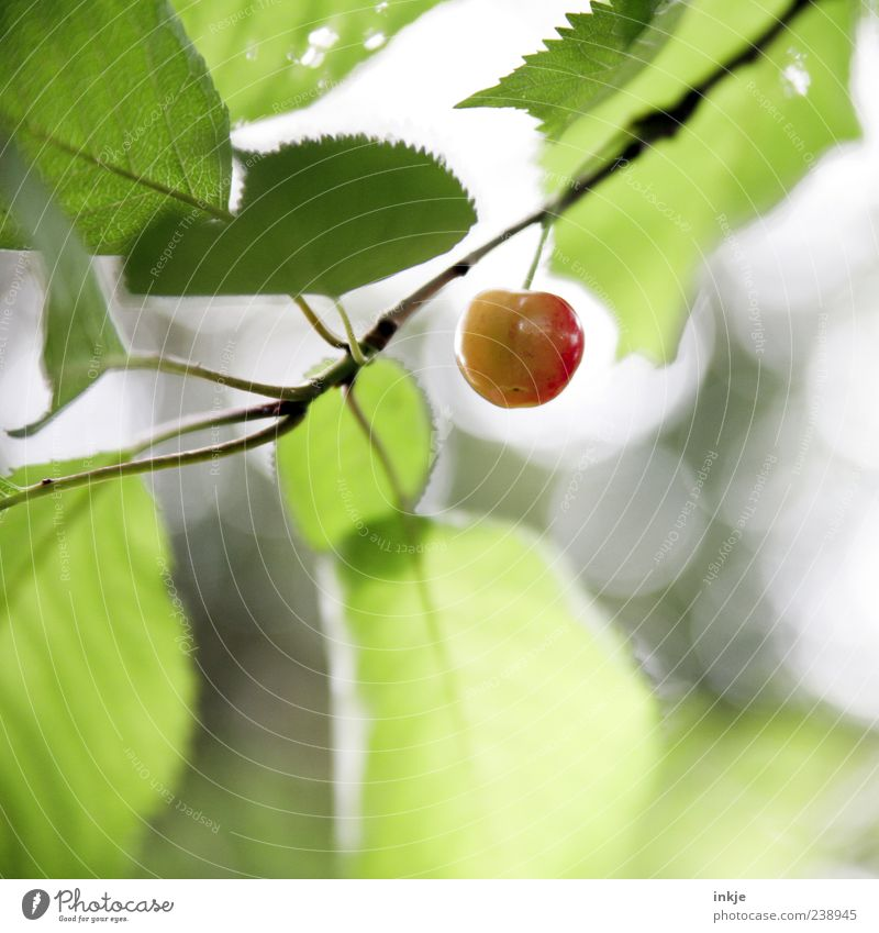precociousness Fruit Cherry Spring Summer Beautiful weather Cherry tree Garden Hang Growth Fresh Healthy Delicious Natural Above Round Juicy Sour Sweet Green