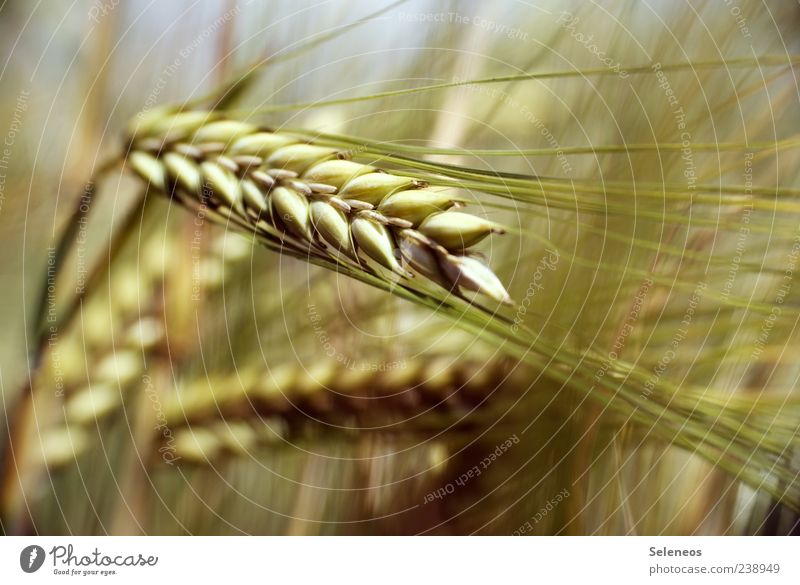 Nature Plant Summer Environment Food Field Natural Grain Barley Crops Ear of corn Agricultural crop Cornfield Barleyfield Barley ear