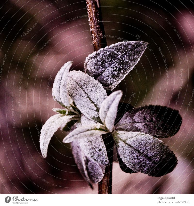 ice flowers Environment Nature Plant Winter Climate Ice Frost Bushes Leaf Wild plant Cold Black White Emotions Exterior shot Deserted Morning Shadow