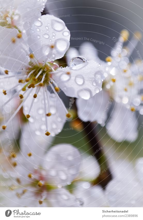 Raindrops on blossom splendour Nature Drops of water Sunlight Spring Plant Tree Blossom Agricultural crop Fruit trees Yellow plum Garden Fresh Beautiful