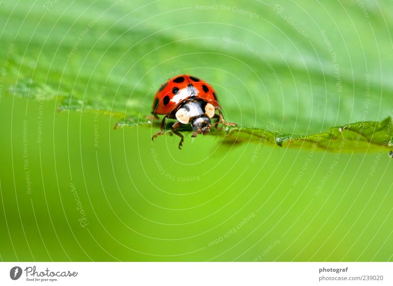 ladybugs Animal Beetle 1 Colour photo Exterior shot Deserted Day Animal portrait Forward Ladybird Good luck charm Spotted Copy Space bottom Nature Green Leaf