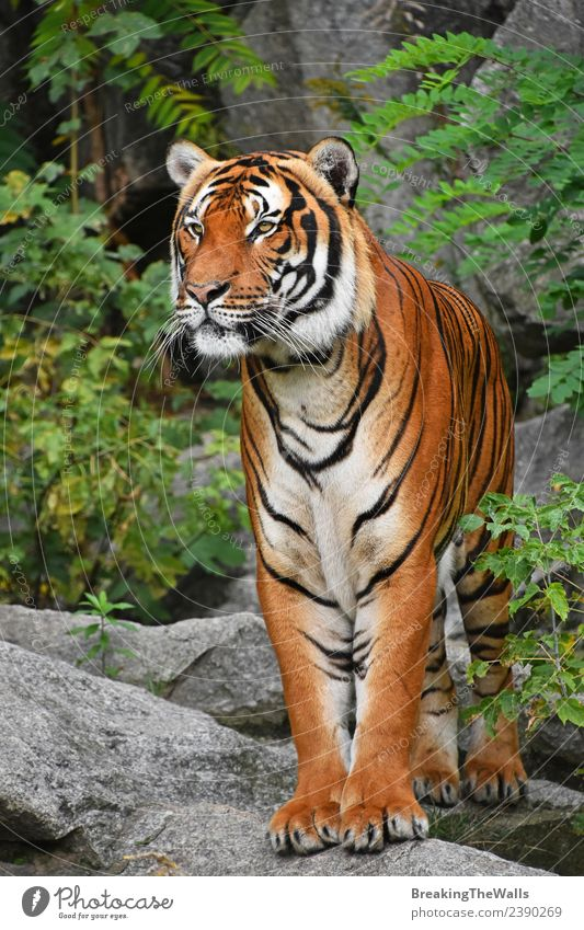 Close up full length front portrait of Indochinese tiger Nature Animal Tree Forest Virgin forest Rock Wild animal Cat Animal face Zoo 1 Stone Observe Stand