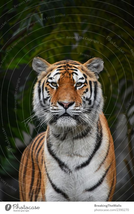 Close up portrait of Siberian tiger looking at camera Nature Animal Tree Forest Wild animal Cat Animal face Zoo 1 Green Tiger Amur young panthera tigris altaica