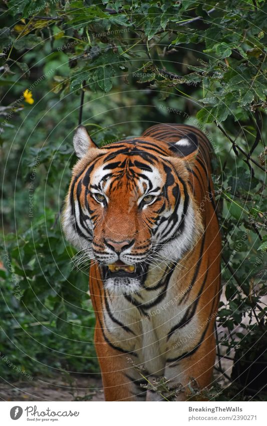 Close up front portrait of one male Indochinese tiger Nature Animal Tree Forest Virgin forest Wild animal Cat Animal face Zoo 1 Observe Stand Green Watchfulness