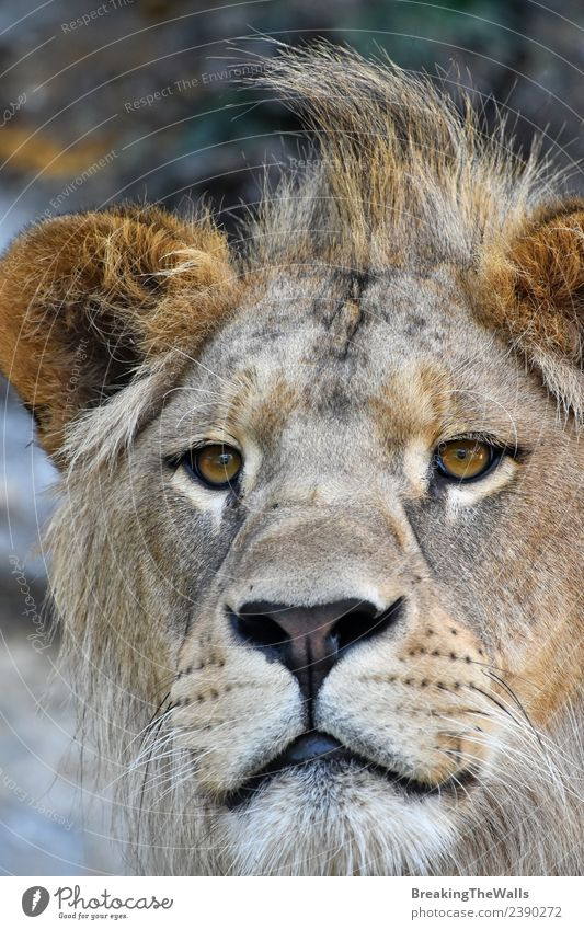 Extreme close up portrait of young cute male African lion Cat Nature Animal Baby animal Eyes Wild Head Wild animal Vantage point Cute Mammal Zoo Animal face