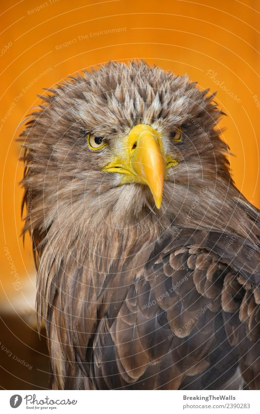 Close up front portrait of one white-tailed sea eagle Nature White Animal Yellow Bird Brown Wild Wild animal Feather Large Observe Watchfulness Beak Animal face