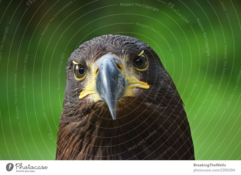 Close up front portrait of Golden eagle looking at camera Nature Animal Summer Grass Wild animal Bird Animal face Zoo golden eagle 1 Observe Dark Brown Green