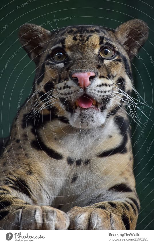 Close up front portrait of young clouded leopard Animal Wild animal Animal face Zoo Big cat Cat Eyes 1 Baby animal tongue Snout endangered Living thing Asian