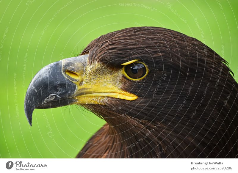 Close up profile portrait of Golden eagle over green Nature Animal Grass Wild animal Bird Animal face Zoo 1 Observe Dark Brown Green Watchfulness Eagle Side