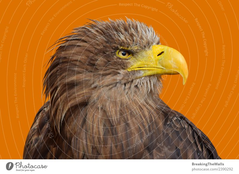 Close up profile portrait of white-tailed sea eagle Nature White Animal Yellow Eyes Bird Brown Orange Wild Head Wild animal Feather Large Observe Watchfulness