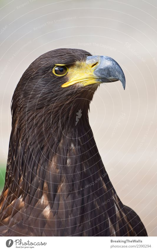 Close up profile portrait of one Golden eagle Nature Animal Dark Bird Gray Brown Wild Wild animal Observe Watchfulness Zoo Beak Animal face Eagle Prey
