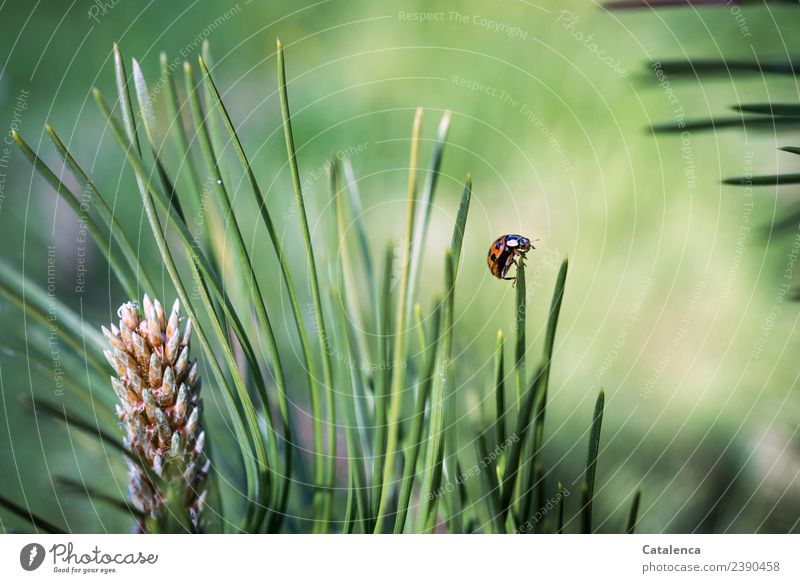 turning point Nature Plant Animal Beautiful weather Tree Grass Pine pine needles Garden Forest Beetle Ladybird 1 Crawl Round Thorny Brown Green Orange White
