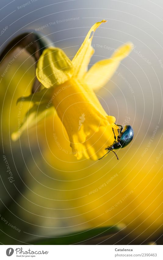 Sky blue leaf beetle on a daffodil blossom Nature Plant Animal Spring Flower Blossom Narcissus Bulb flowers Spring flower Garden Park Beetle 1 Blossoming