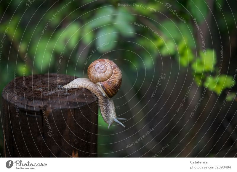 A vineyard snail crawling from a fence post Nature Plant Animal Spring Hedge Hawthorn Garden Snail Vineyard snail Fence post Wood Hang Glittering Slimy Brown