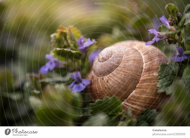 snail shell of a vineyard snail between Gundermann flowers Nature Plant Animal Spring Flower Leaf Blossom ground man Weed Garden Meadow Snail Vineyard snail