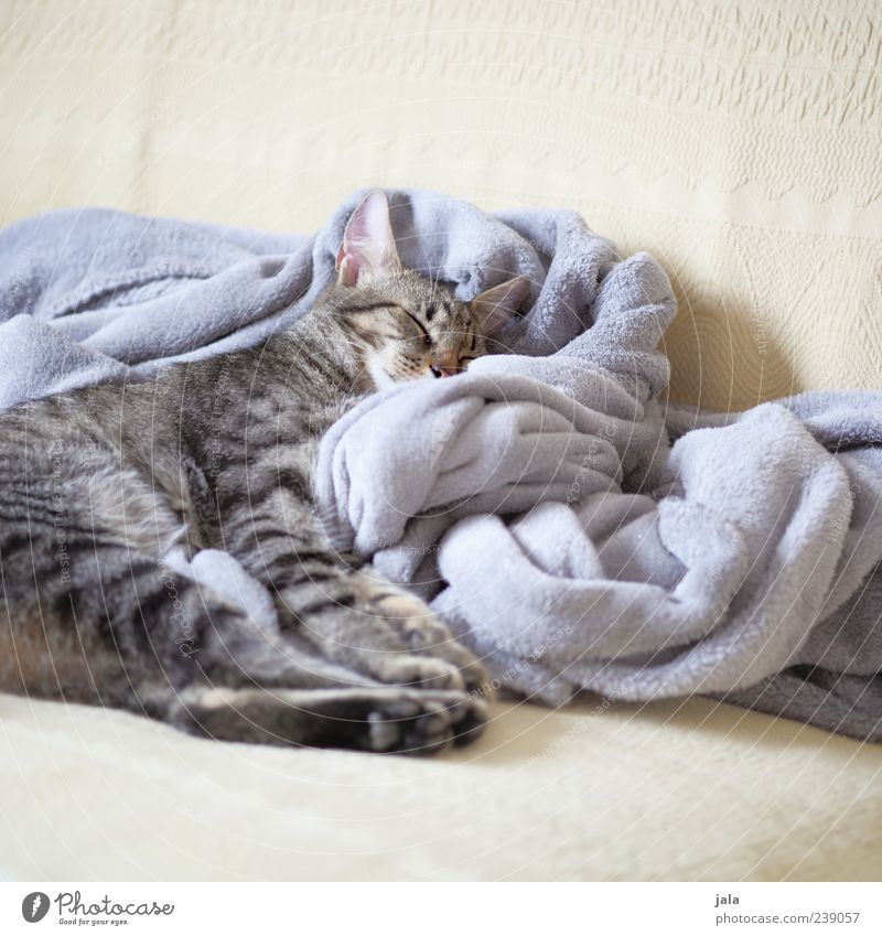 Cat Animal Calm Lie Sleep Cute Soft Animal face Sofa Pet Blanket Paw Cuddly Rest position
